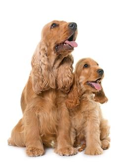 Due cani cocker spaniel