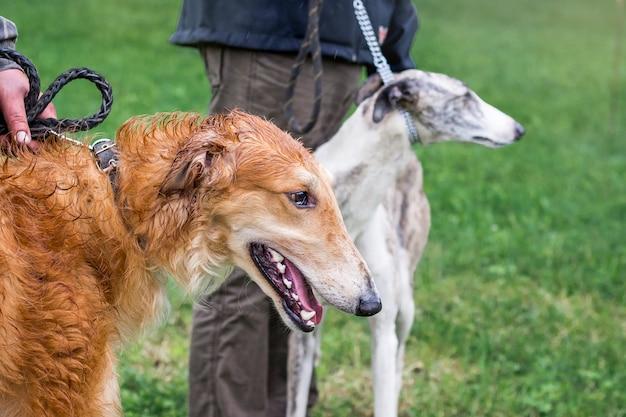 Due cani da riproduzione di levriero con i loro padroni in una passeggiata in tempo piovoso