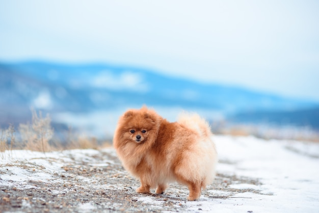 Due cani di colore rosso di razza di spitz giocano sulla montagna in inverno.