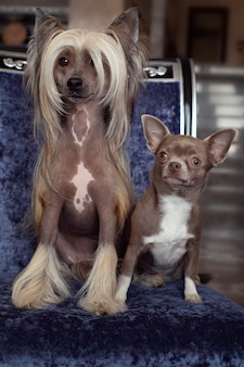 Due cani domestici si siedono su una sedia. piccolo chihuahua marrone e cinese crestato con i capelli lunghi
