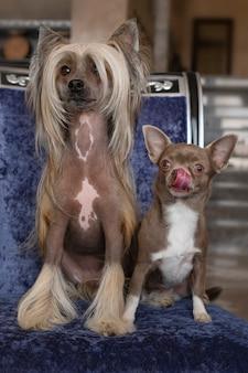Due cani domestici si siedono sulla sedia. piccolo chihuahua marrone con lingua sporgente e cresta cinese con i capelli lunghi