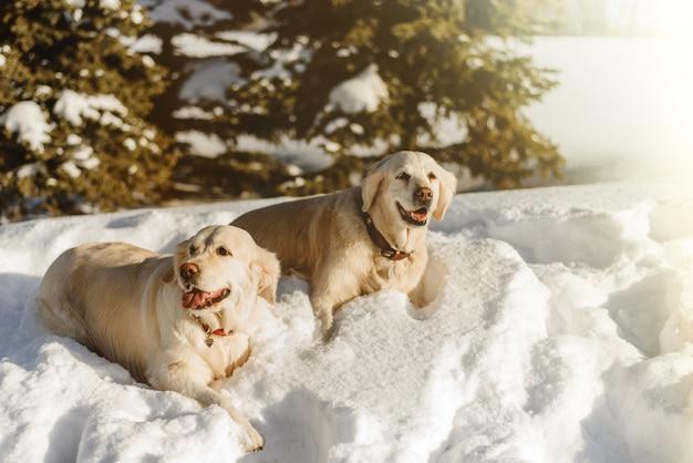 Due cani labrador nella neve, i cani camminano in inverno