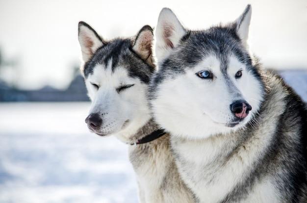 Due cani siberian husky si guardano intorno. i cani husky hanno il colore del mantello bianco e nero.