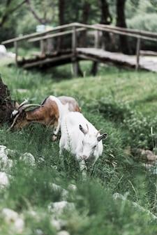 Due capre al pascolo sul prato