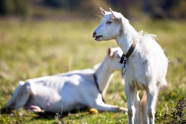 Due capre barbute bianche che pascono nell'erba di prato verde il giorno di estate soleggiato luminoso.