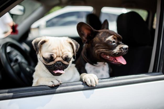 Due carlini divertenti si siedono sulla sedia in macchina