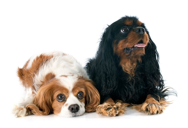 Due cavalier king charles
