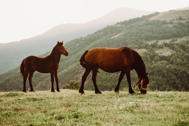 Due cavalli sono pascuti su un prato