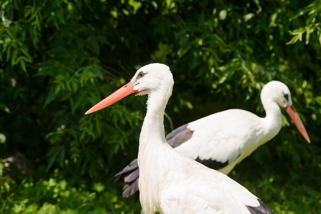 Due cicogne bianche (ciconia ciconia)