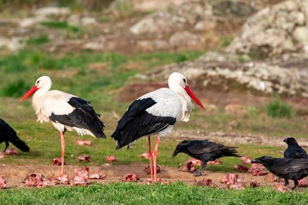 Due cicogne e corvi