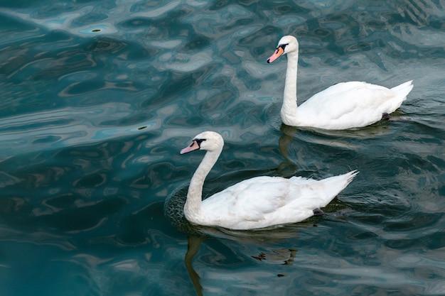 Due cigni in alto mare. simbolo del concetto di amore. bella coppia