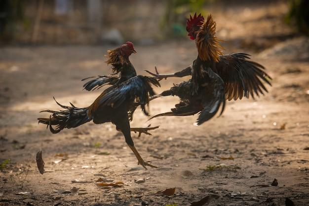 Due combattenti gallo nella natura arena combattimenti.