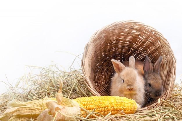 Due coniglietti si nascondevano in un cestino di legno, mangiando mais come un gusto.