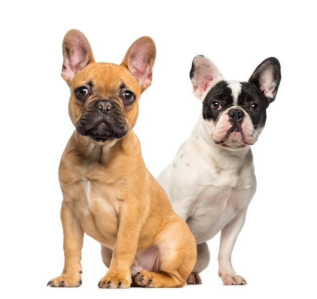 Due cuccioli di bulldog francese, seduti