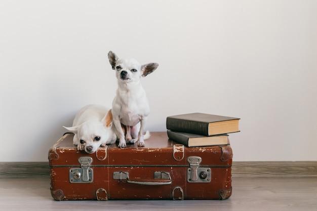Due cuccioli di chihuahua sdraiato sulla valigia. animali domestici a casa. cani adorabili con facce buffe. animali domestici isolati sulla parete bianca. pronto a viaggiare. libri d'epoca. museruole dispari guardando la fotocamera.