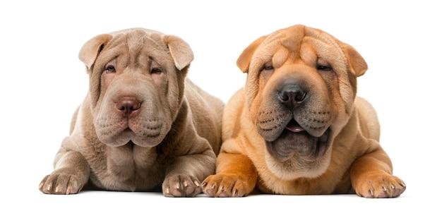 Due cuccioli di shar pei davanti a un muro bianco