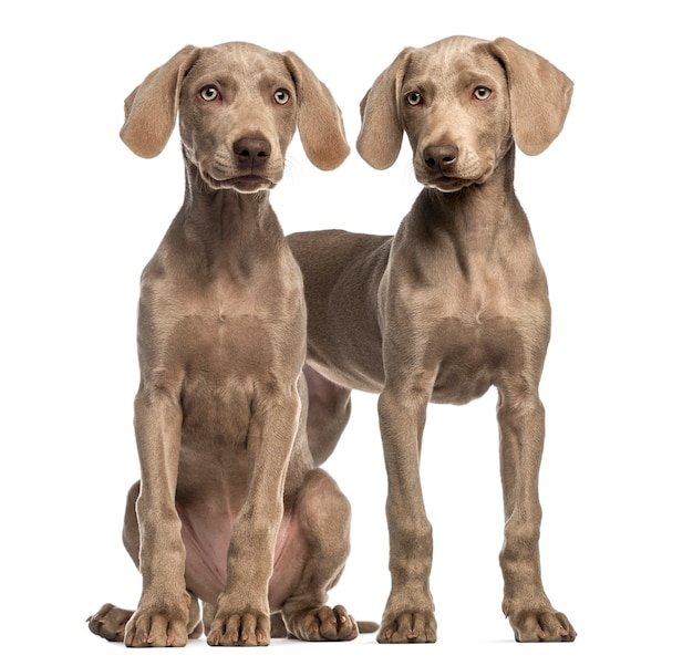 Due cuccioli di weimaraner, seduti e in piedi