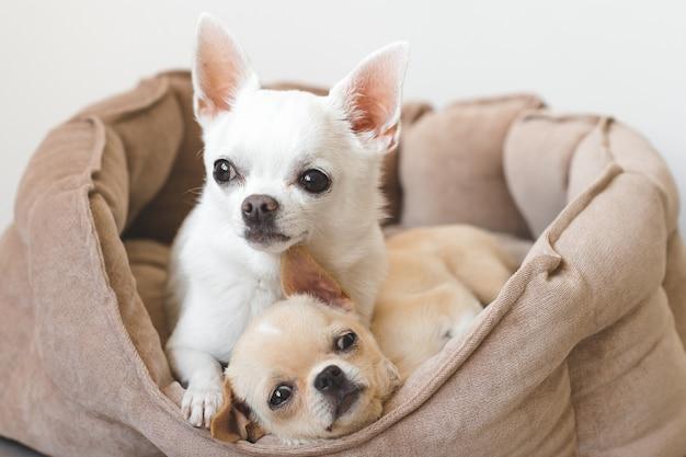 Due cuccioli divertenti della chihuahua che si trovano nel canestro del cane a casa