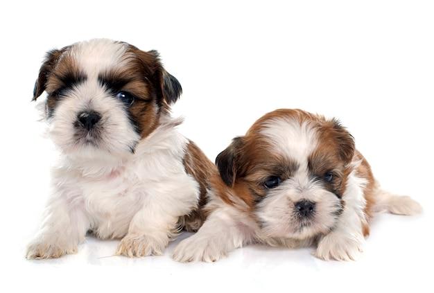 Due cuccioli shitzu