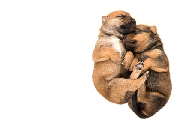 Due cucciolo neonato sulla vista superiore del fondo bianco