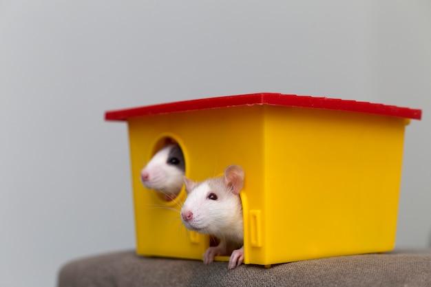 Due divertenti criceti curiosi addomesticati bianchi e grigi dei topi con gli occhi brillanti che guardano dalla finestra gialla brillante della gabbia. mantenere gli amici a casa, la cura e l'amore per il concetto di animali.