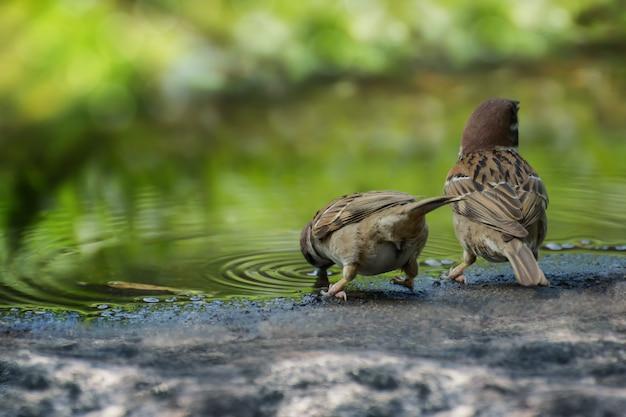 Due eurasian tree sparrow (passer montanus) seduto sulla riva di pietra di un acqua