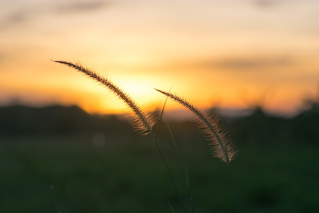 Due fiori d'erba tagliati al sole posteriore.