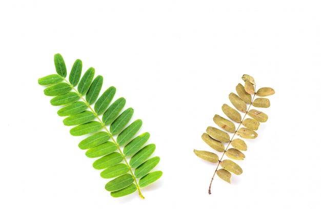 Due foglie di tamarindo fresche e secche.