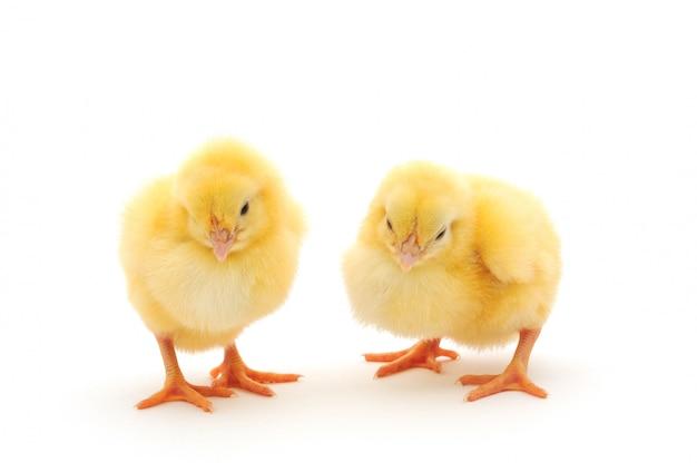 Due galline