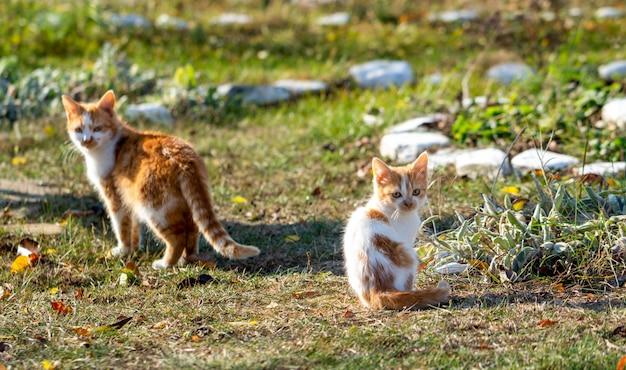 Due gatti randagi rossi in natura