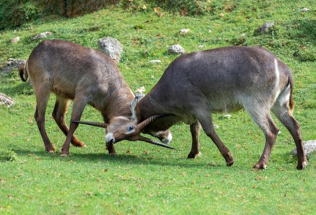 Due gazzelle di oryx che combattono