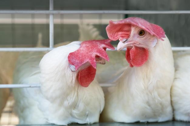 Due giovani cazzi bianchi in un allevamento di pollame. polli da pollo.