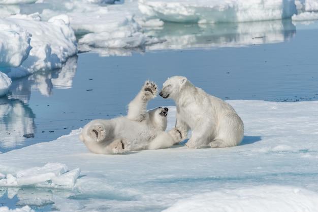 Due giovani cuccioli di orso polare selvatici che giocano sul ghiaccio del pacco nel mare artico, a nord delle svalbard