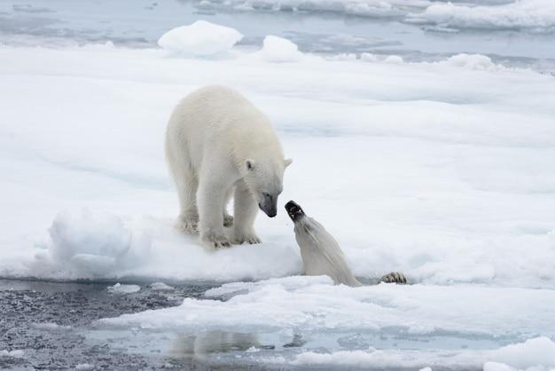 Due giovani orsi polari selvatici che giocano sul ghiaccio del pacco nel mare artico, a nord delle svalbard