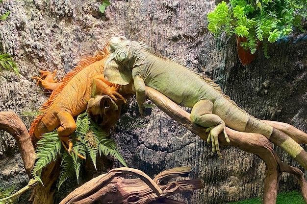 Due grandi lucertole arancioni e verdi insieme. coppia. amore.