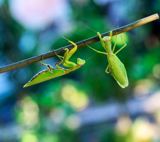 Due grandi mantidi verdi che strisciano lungo il ramo