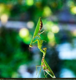 Due grandi mantidi verdi su un ramo