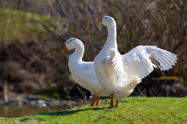 Due grandi oche bianche che stanno pacificamente insieme nel prato erboso verde con la foresta vaga buio dietro il giorno soleggiato luminoso. bellezza degli uccelli, avicoltura domestica e concetto di protezione della vita selvaggia