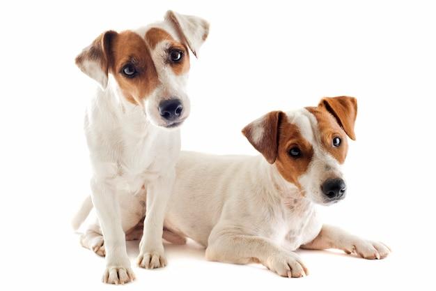 Due jack russel terrier