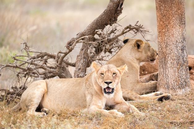 Due leoni riposano all'ombra di un albero
