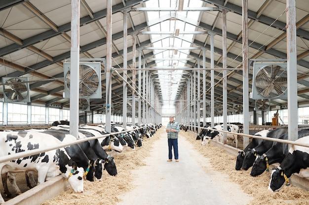 Due lunghe file di mucche da latte che mangiano fieno fresco e lavoratore maschio della fattoria utilizzando tablet per leggere informazioni sulla nuova razza
