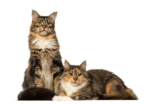 Due maine coon seduti sdraiati e guardando lontano