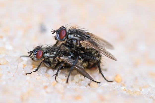 Due mosche che si accoppiano
