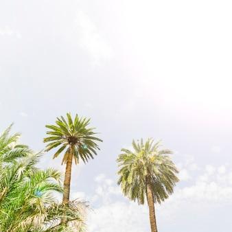 Due palme da datteri tropicali contro il cielo