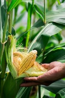 Due pannocchie gialle mature di mais dolce sul campo. raccogli il raccolto di mais.