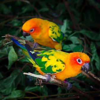 Due pappagalli di conuri del sole stanno sedendo su un ramo di albero