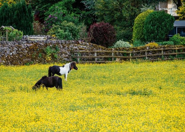 Due pascoli hanno tagliato i piccoli cavalli sul prato giallo
