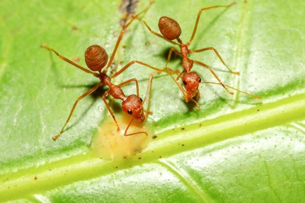 Due passeggiata ant di anticipo sul foglio verde in natura