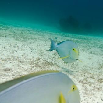 Due pesci che nuotano sott'acqua, isola di santa cruz, isole galapagos, ecuador