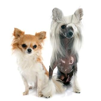 Due piccoli cani